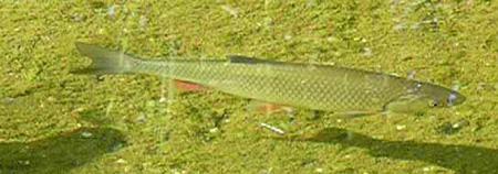 Unsere teichfische im klaren wasser teich filter for Spiegelkarpfen im gartenteich