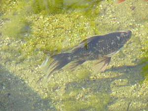 Unsere teichfische im klaren wasser teich filter for Teichfische shubunkin